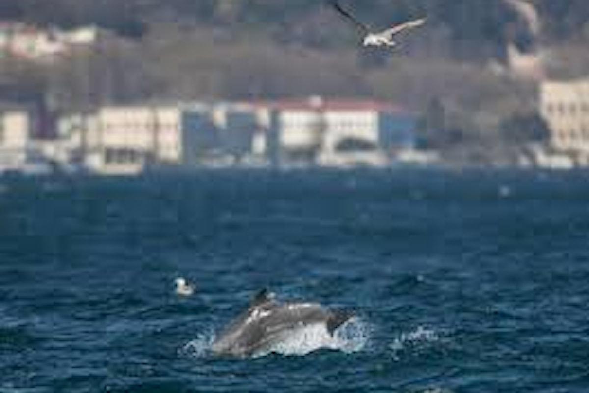 Durante lockdown si rivedono i delfini saltare nel Bosforo ad Instabul