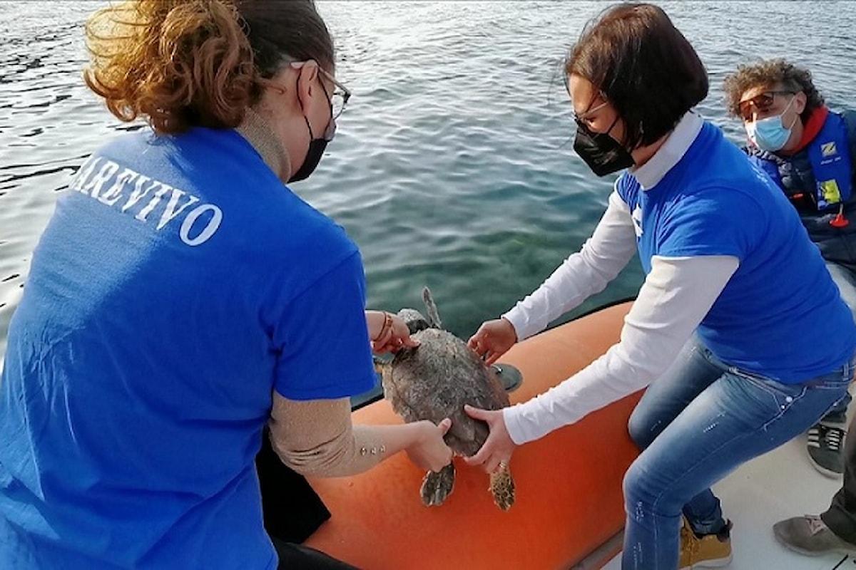 Milazzo (ME) - Tartaruga marina liberata in acque dell'Area Marina protetta