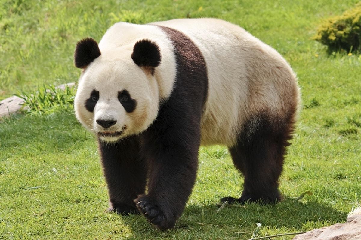 Le sei dita del panda