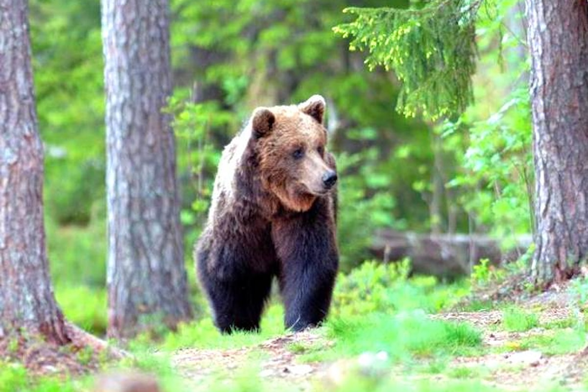 La provincia di Trento vuol catturare o uccidere l'orsa KJ2. L'OIPA presenta ricorso